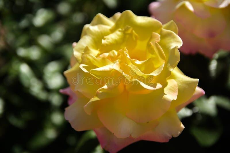 Biel róża przeciw w górę tła zieleń liście i b fotografia royalty free