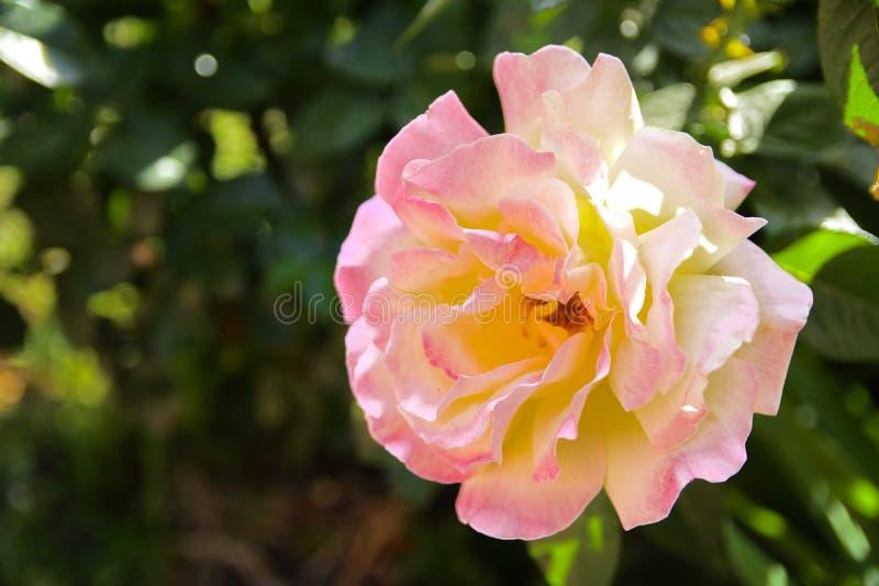 Biel róża przeciw w górę tła zieleń liście i b zdjęcia royalty free