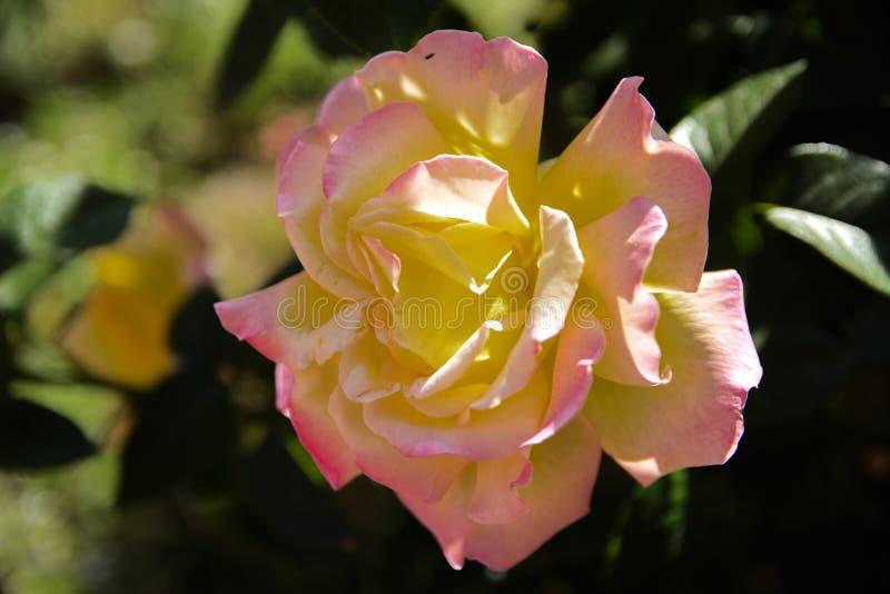Biel róża przeciw w górę tła zieleń liście i b zdjęcie stock