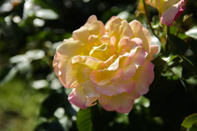 Biel róża przeciw w górę tła zieleń liście i b zdjęcia stock
