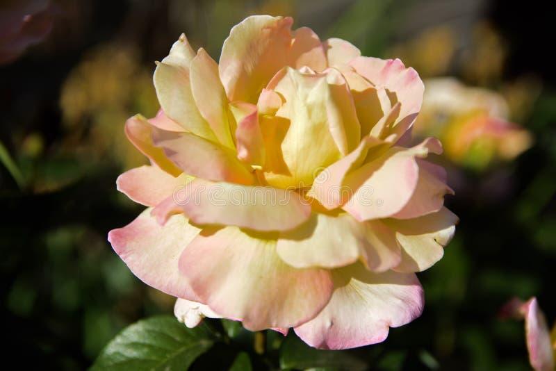 Biel róża przeciw w górę tła zieleń liście i b obrazy stock