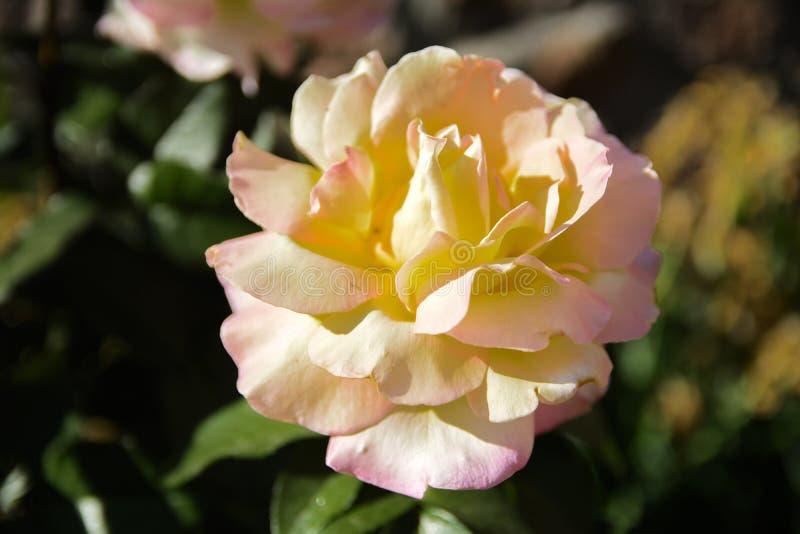 Biel róża przeciw w górę tła zieleń liście i b obrazy royalty free