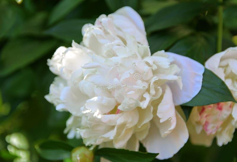 Biel róża przeciw w górę tła zieleń liście i b obraz stock