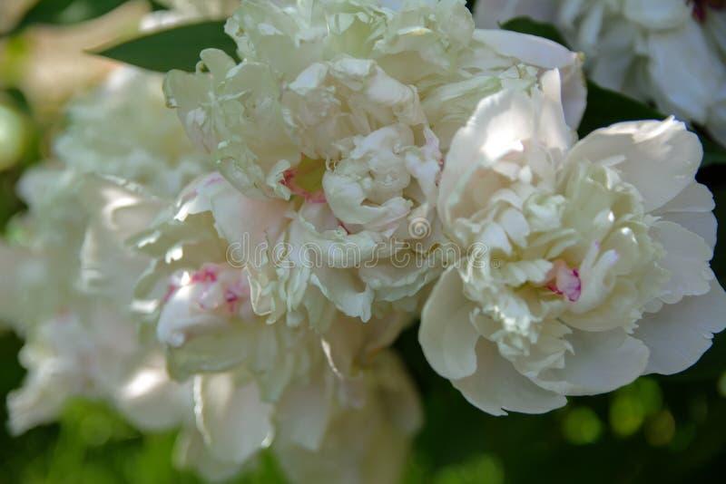 Biel róża przeciw w górę tła zieleń liście i b fotografia stock