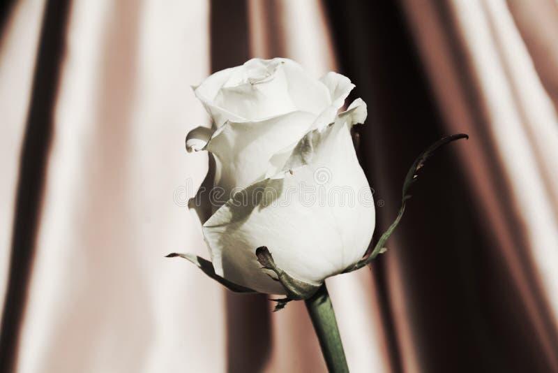 Biel róża, symbol czystość fotografia royalty free