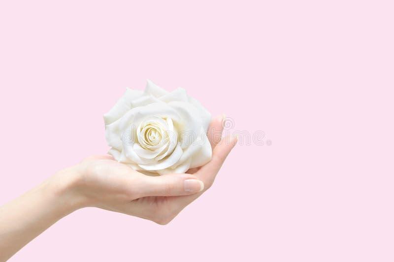Biel róża w żeńskiej ręce zdjęcie royalty free