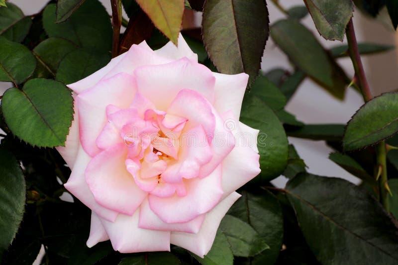 Biel róża w Floryda zdjęcia stock