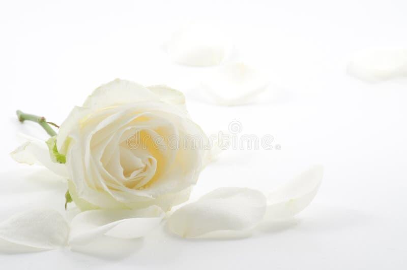 Biel róża z płatka zakończeniem obrazy stock