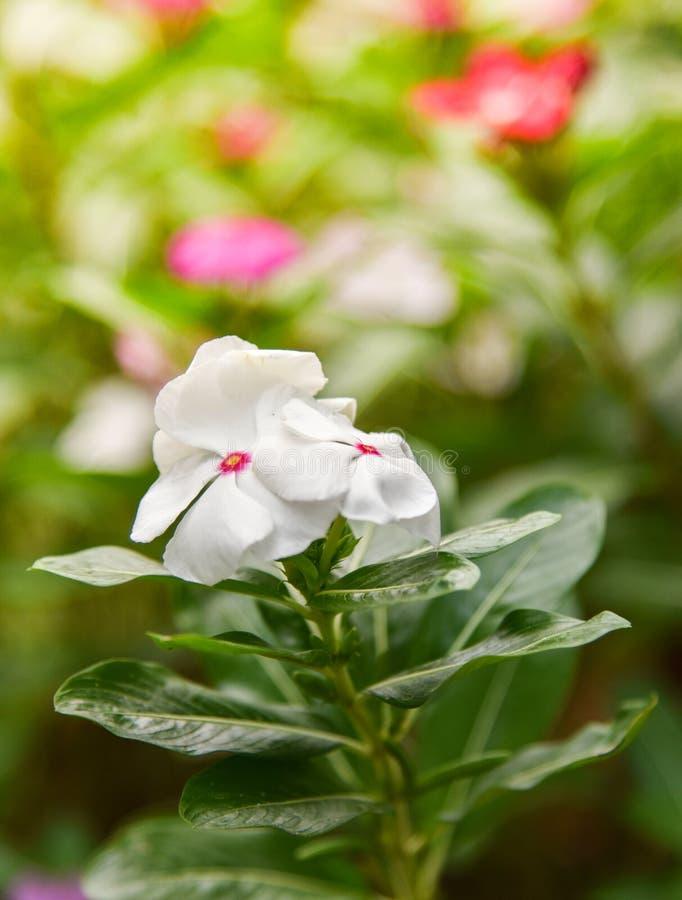 Biel róży barwinek w kwiatu ogródzie zdjęcia royalty free