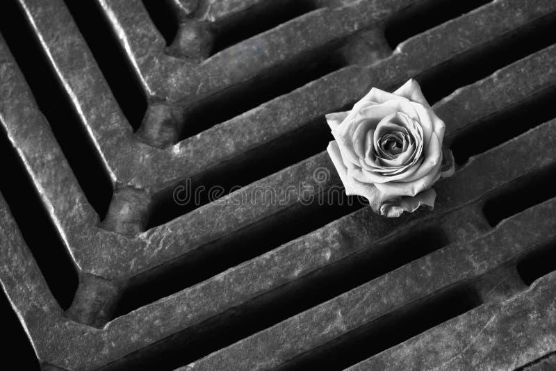 Biel róży kwiatu lying on the beach na metal kratownicie czarny white zdjęcia royalty free
