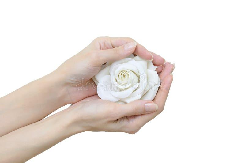Biel róży pączek w ręce Zakończenie zdjęcie royalty free