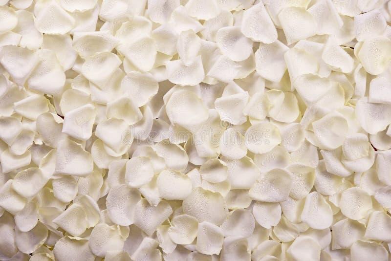Biel róży płatki obrazy stock