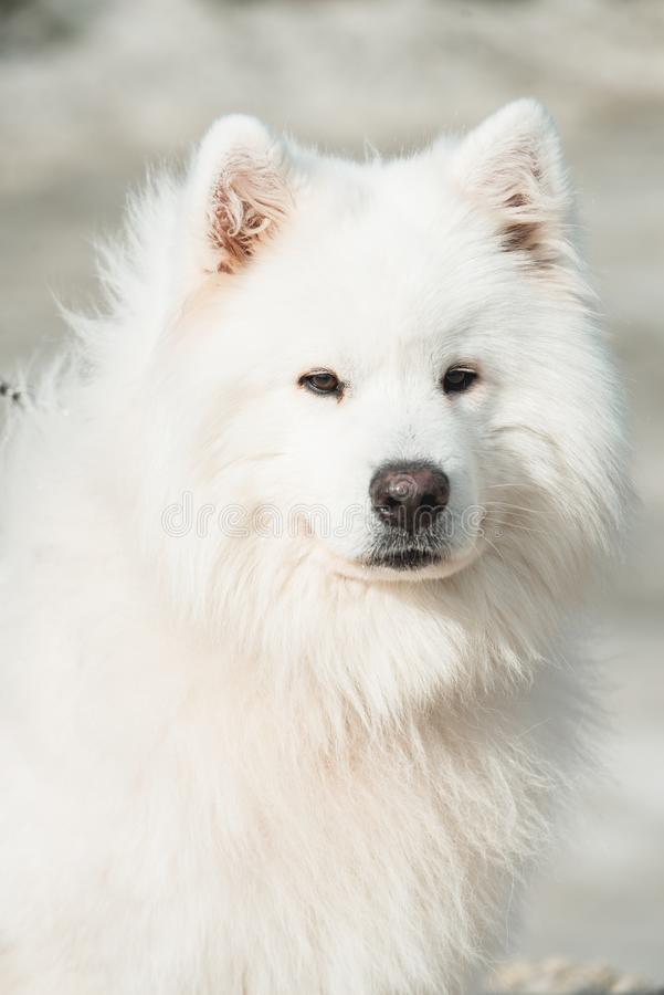 Biel samoed pies piasek na tle zdjęcia royalty free