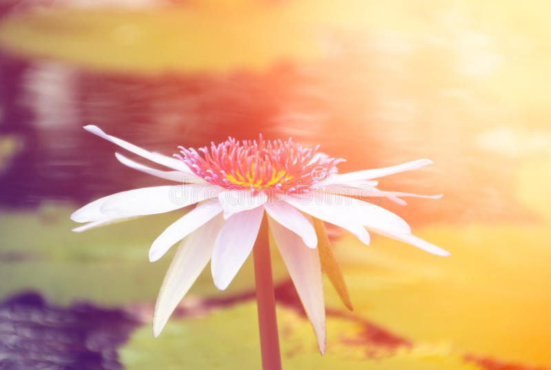 Biel waterlily z zmierzchu światłem obrazy royalty free