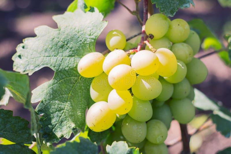 Biel, złociści winogrona na winogradzie obrazy stock