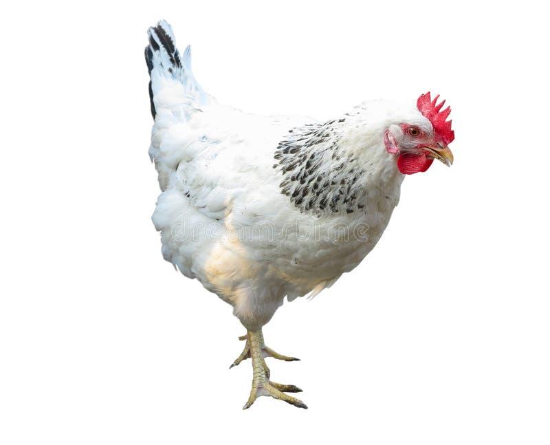 Biel z czarnym kurczakiem odizolowywającym nad bielem zdjęcie royalty free