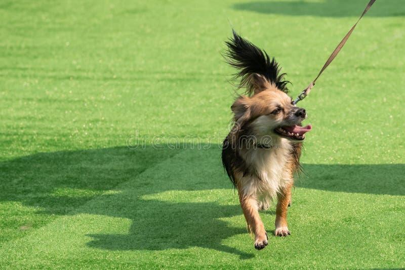 Biel z czerwon? doros?? chihuahua psa pozycj? na zielonej trawy portrecie obraz stock