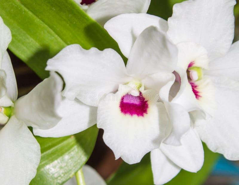 Biel z różowym midpoint orchidei zakończeniem zdjęcie stock