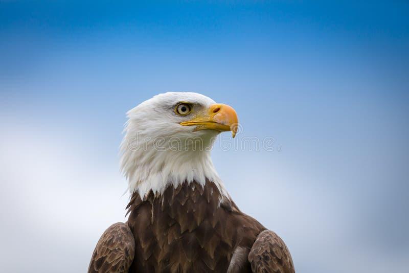 bielik amerykański zdjęcia stock