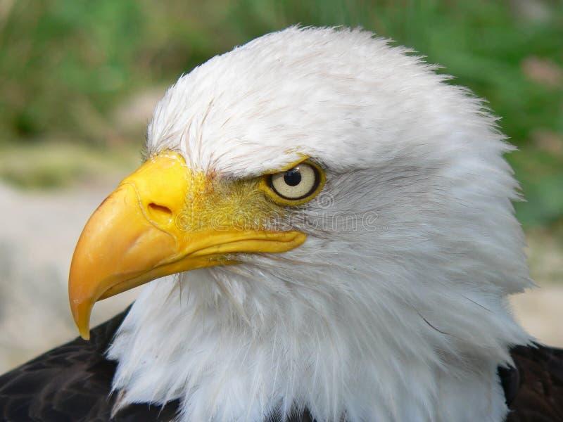 bielik amerykański obraz royalty free