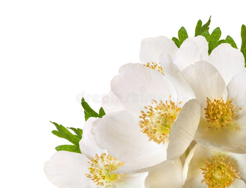 Bielu anemonu czuli kwiaty odizolowywający na białym tle zdjęcia stock