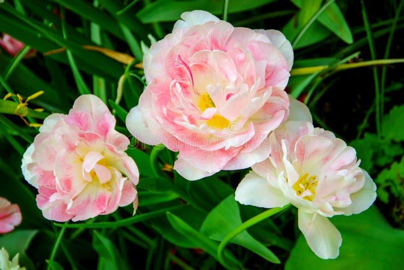 Bielu i menchii peoni dwoiści opóźneni tulipany zdjęcia royalty free