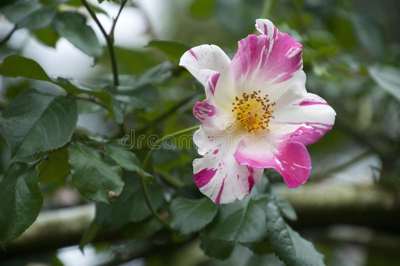 Bielu i menchii róży kwiat w mae fah luang uprawia ogródek zdjęcia stock