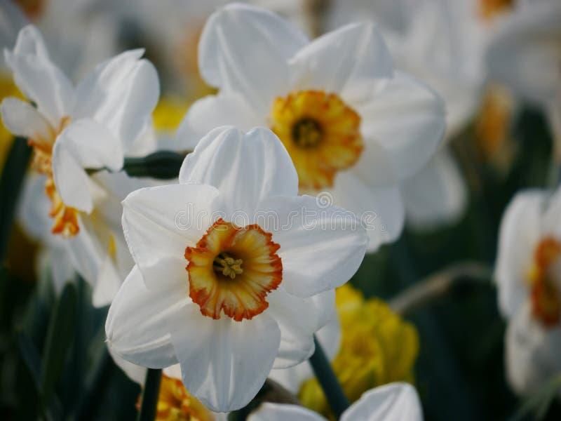 Bielu i pomarańcze kwiaty obrazy stock