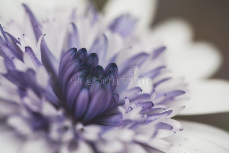 Bielu i purpur kwiatu zakończenie Up zdjęcie stock