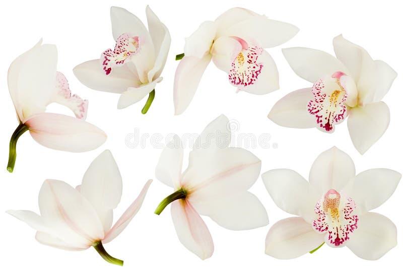 Bielu kwiatu różowa Storczykowa głowa ustawia odosobnionego na białym tle, różny strona widok, w górę fotografia royalty free