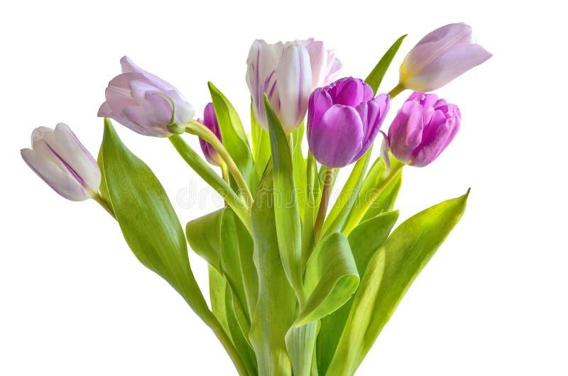 Bielu, menchii i purpur tulipanów bukiet odizolowywający na białym tle, fotografia royalty free