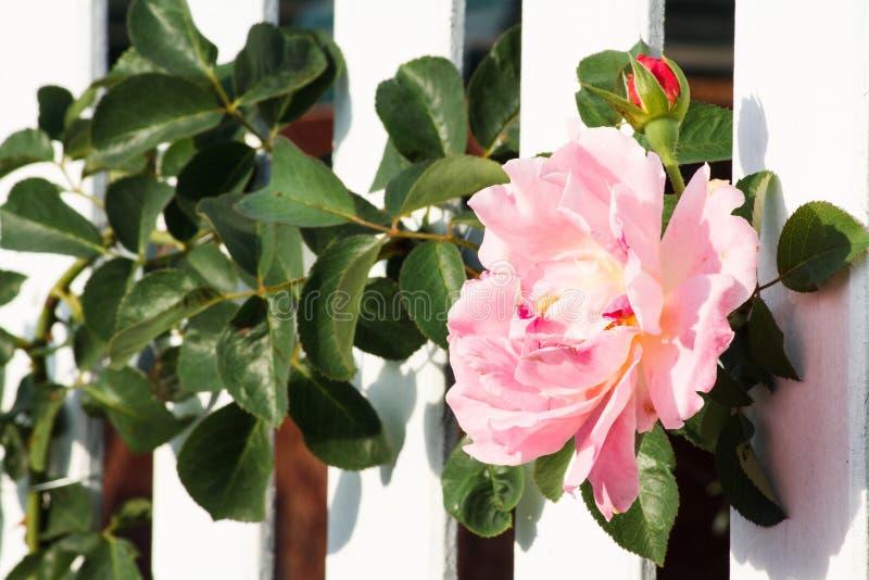 Bielu ogrodzenie i Wspinaczkowe róże fotografia stock