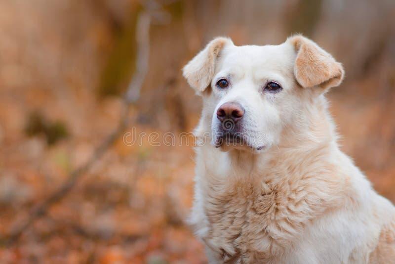 Bielu pies w jesień lesie zdjęcie royalty free