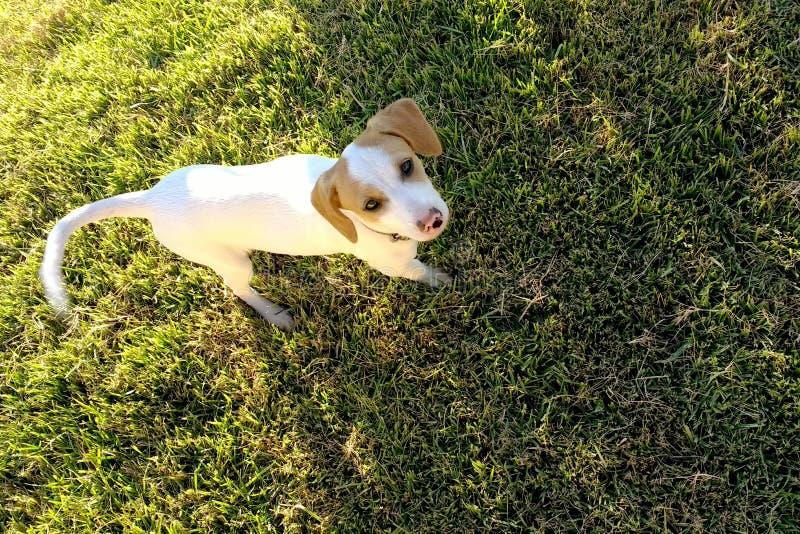 Bielu pies w ogr?dzie fotografia royalty free