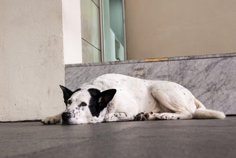 Bielu pies z czarnymi ucho odpoczywa kłamać na podłogowym outside zdjęcia stock