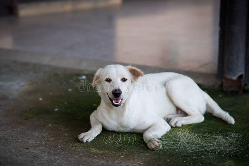 Bielu psa spojrzenia kamera fotografia stock