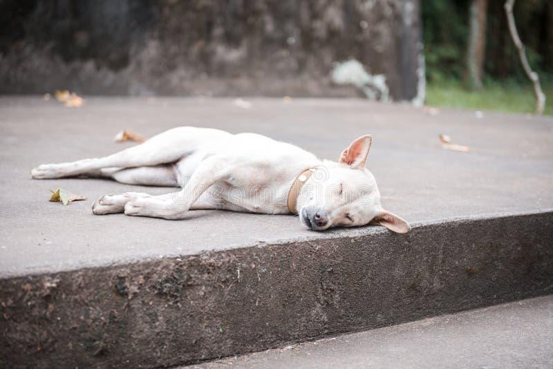 Bielu psi dosypianie obraz stock