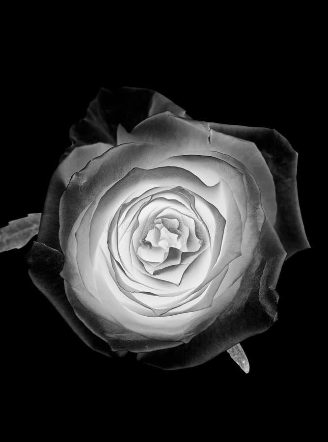 Bielu srebra róży kwiat na czarnym tle obrazy royalty free