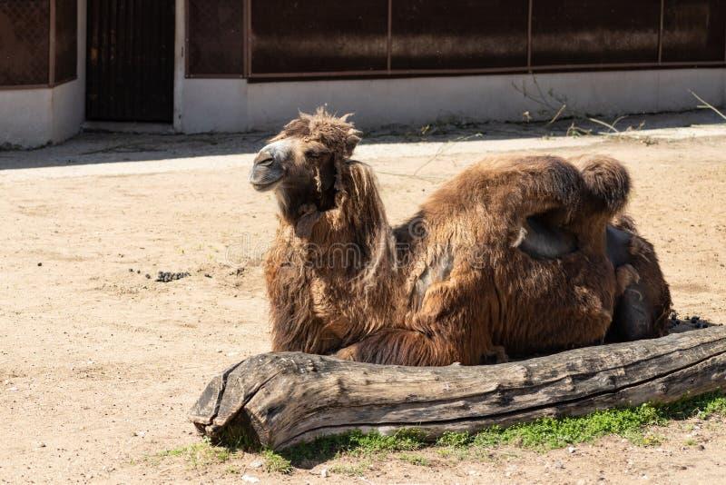 Bien-?tre des animaux pauvre Chameau mal peign? minable dans le zoo de Moscou photographie stock libre de droits