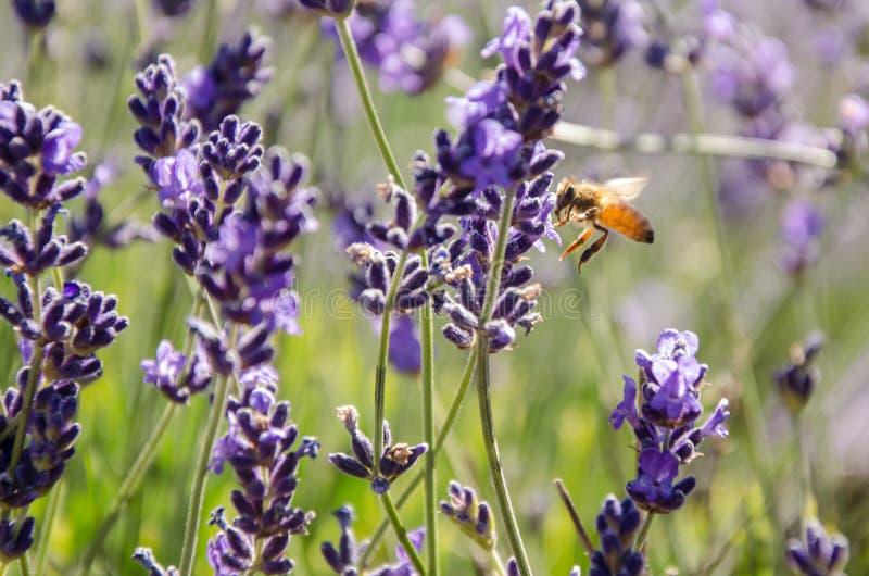 Biene angezogen durch Lavendel, Tasmanien lizenzfreie stockbilder