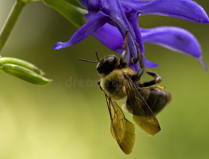 Biene Auf Blauer Blume Lizenzfreie Stockfotos