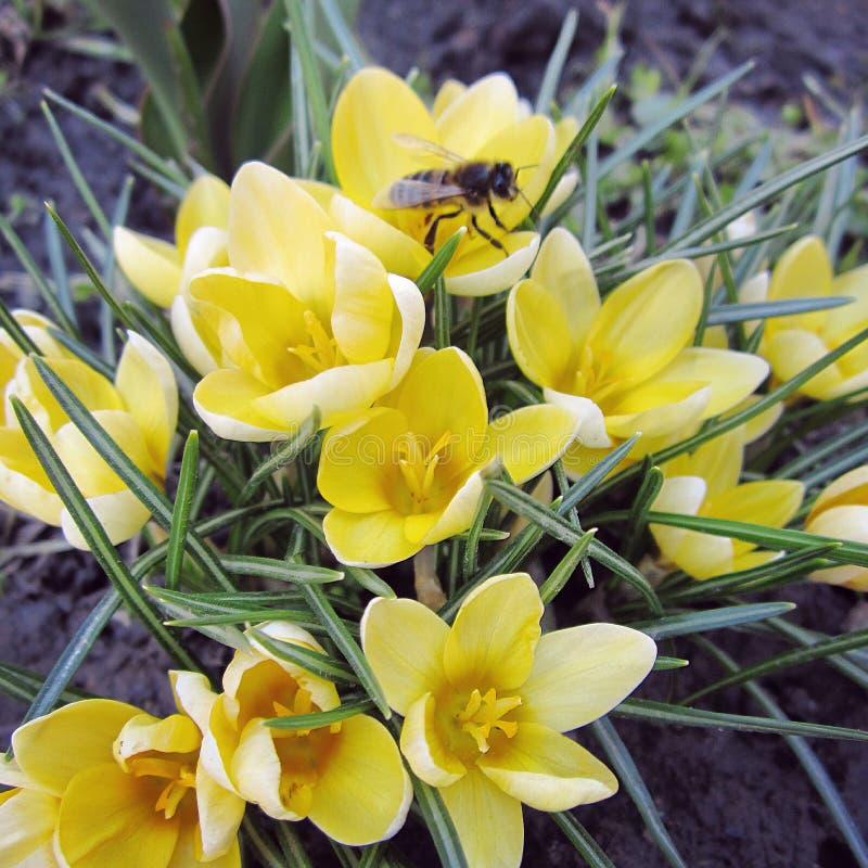 Biene auf Blume stockfoto