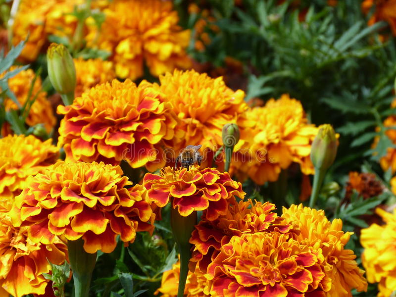 Biene auf Blume stockfotos