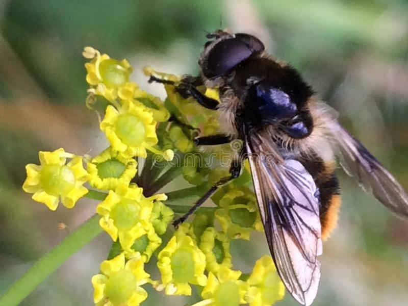 Biene auf Blume lizenzfreie stockfotografie