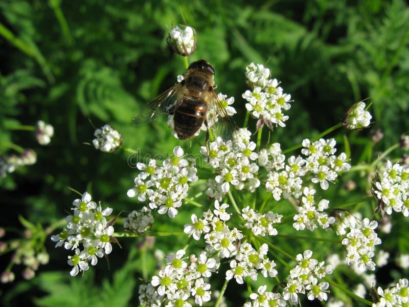 Biene auf Blumen stockfotos