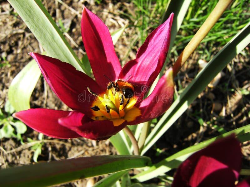 Biene auf Blumenkern lizenzfreie stockfotos