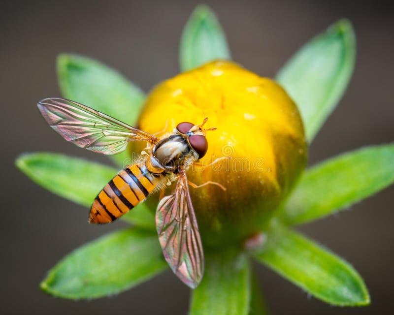 Biene auf Blumenknospe stockfoto