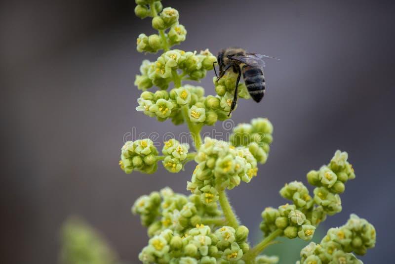 Biene auf Blumenknospe Sammeln des Blumenwesentlichen stockfoto