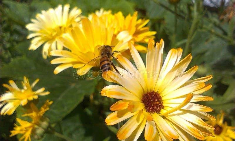 Biene auf Calendula stockfotos