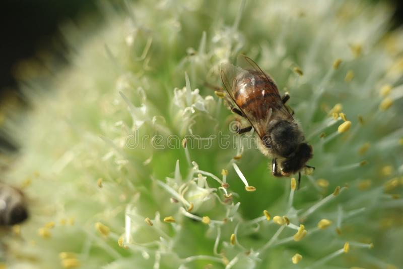 Biene auf dem Zwiebelblumen-Nahaufnahmefoto stockfotos